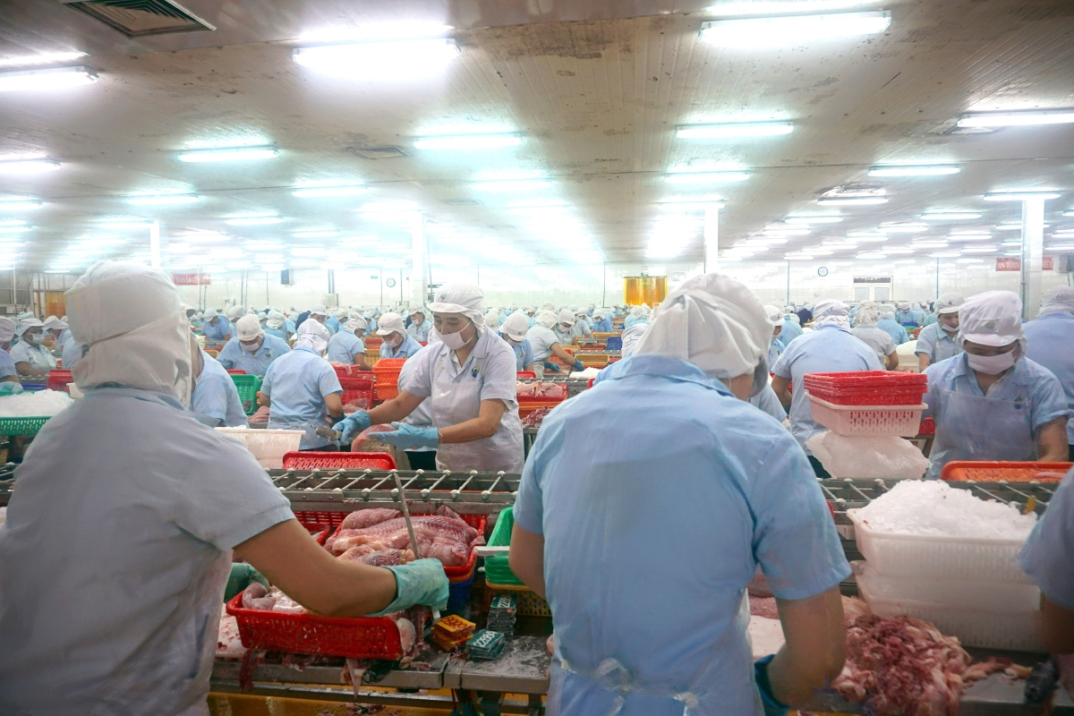Processing Pangasius Fillets In Can Tho Province - Vietnam
