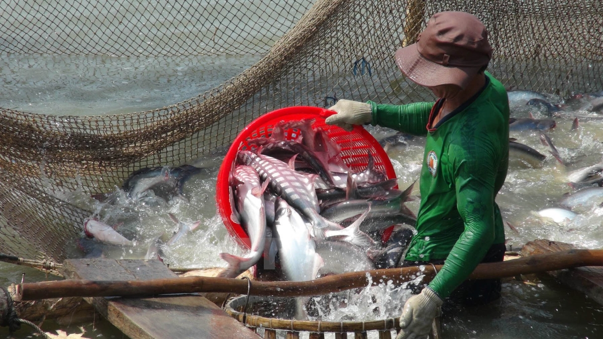 Harvesting Pangasius For Production in Mekong Delta